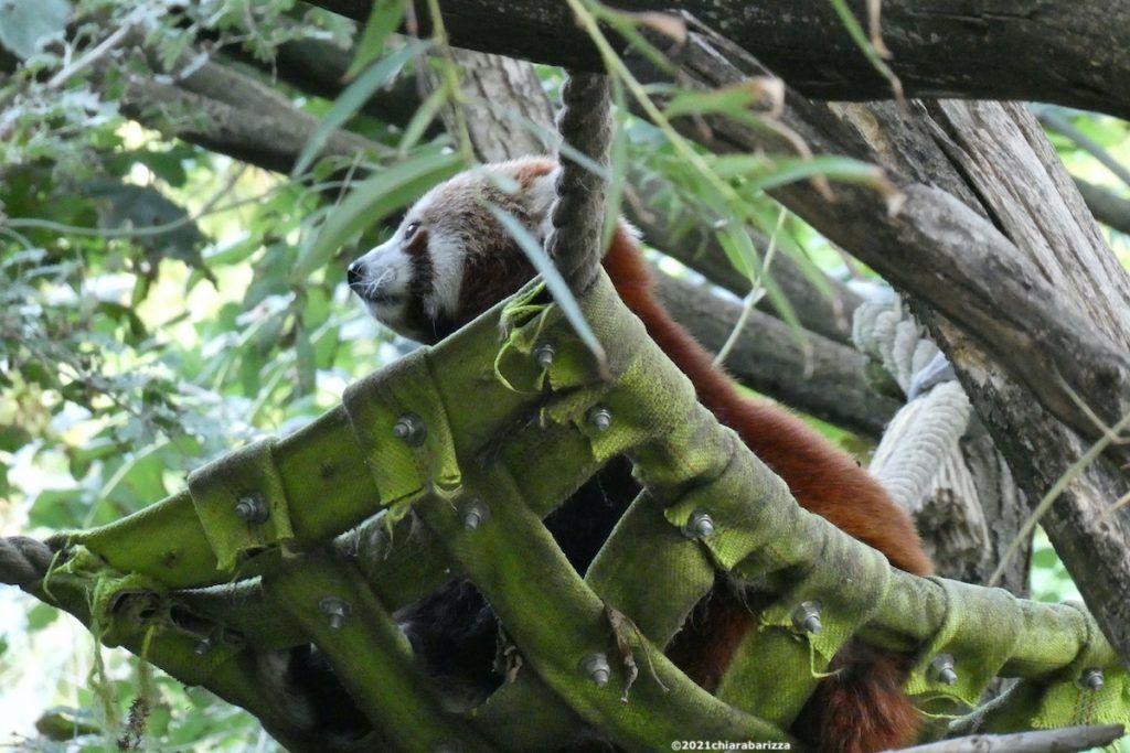 panda rosso nello zoo di vienna